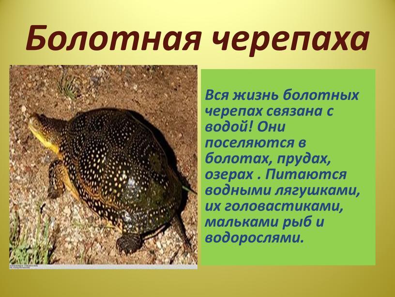 Болотная черепаха Вся жизнь болотных черепах связана с водой!