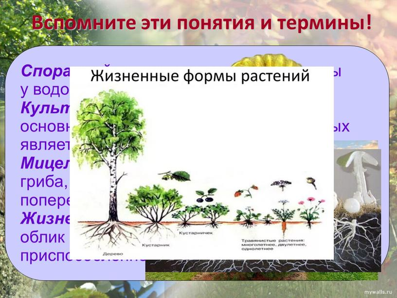 Спорангий - орган, производящий споры у водорослей, растений, грибов
