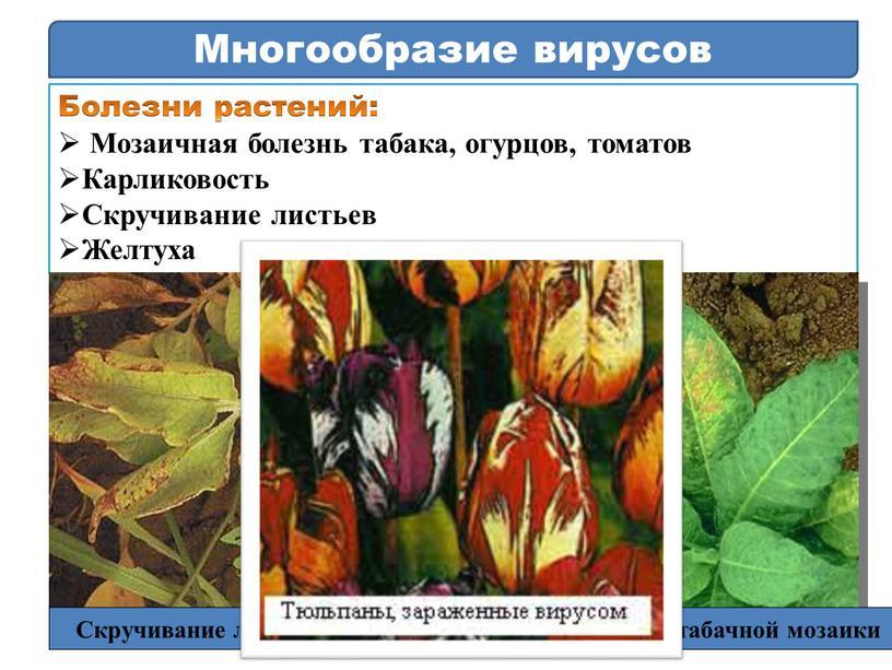 Многообразие вирусов Болезни растений: