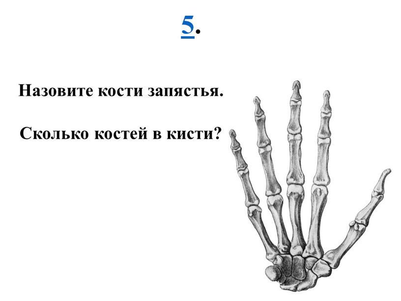 Назовите кости запястья. Сколько костей в кисти?