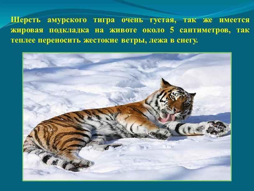 Шерсть амурского тигра очень густая, так же имеется жировая подкладка на животе около 5 сантиметров, так теплее переносить жестокие ветры, лежа в снегу
