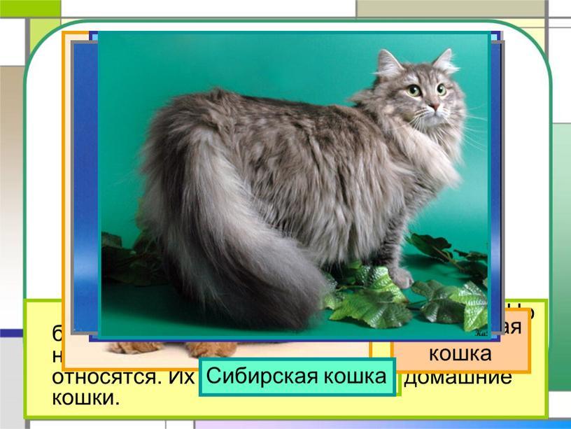 На свете около 60 разных пород кошек