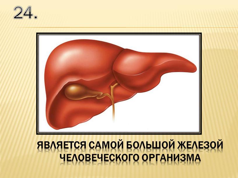 24. является самой большой железой человеческого организма