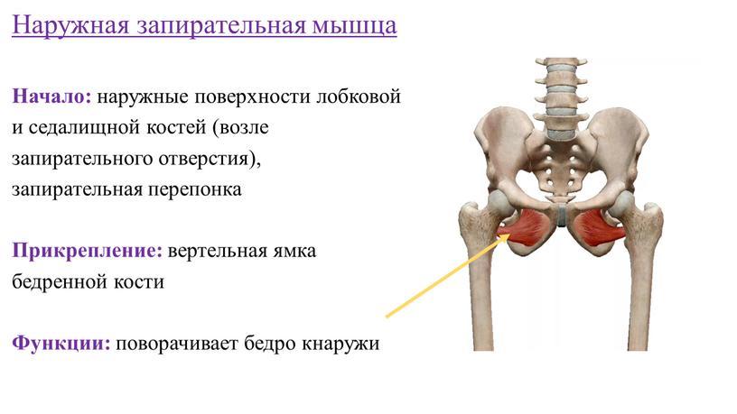 Наружная запирательная мышца Начало: наружные поверхности лобковой и седалищной костей (возле запирательного отверстия), запирательная перепонка