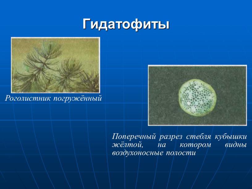 Гидатофиты Роголистник погружённый