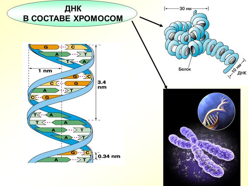 10 ДНК В СОСТАВЕ ХРОМОСОМ