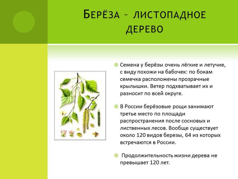 Берёза – листопадное дерево Семена у берёзы очень лёгкие и летучие, с виду похожи на бабочек: по бокам семечка расположены прозрачные крылышки
