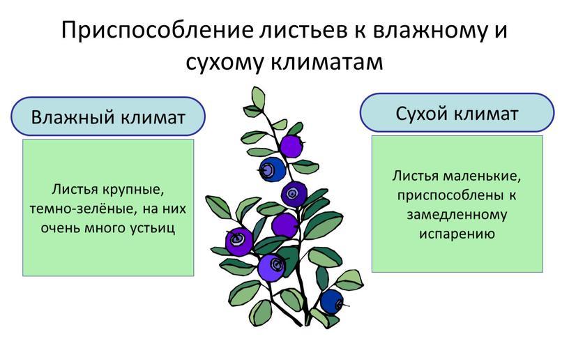 Приспособление листьев к влажному и сухому климатам