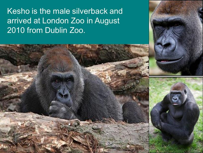 Kesho is the male silverback and arrived at