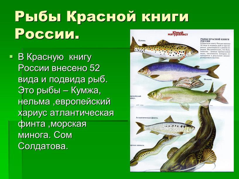 Рыбы Красной книги России. В Красную книгу