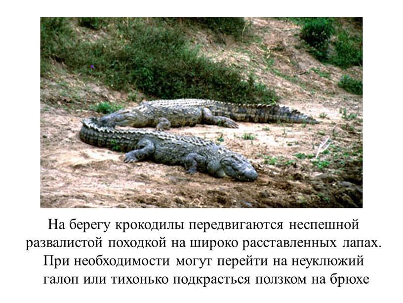 На берегу крокодилы передвигаются неспешной развалистой походкой на широко расставленных лапах