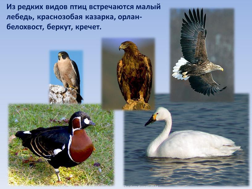 Из редких видов птиц встречаются малый лебедь, краснозобая казарка, орлан-белохвост, беркут, кречет