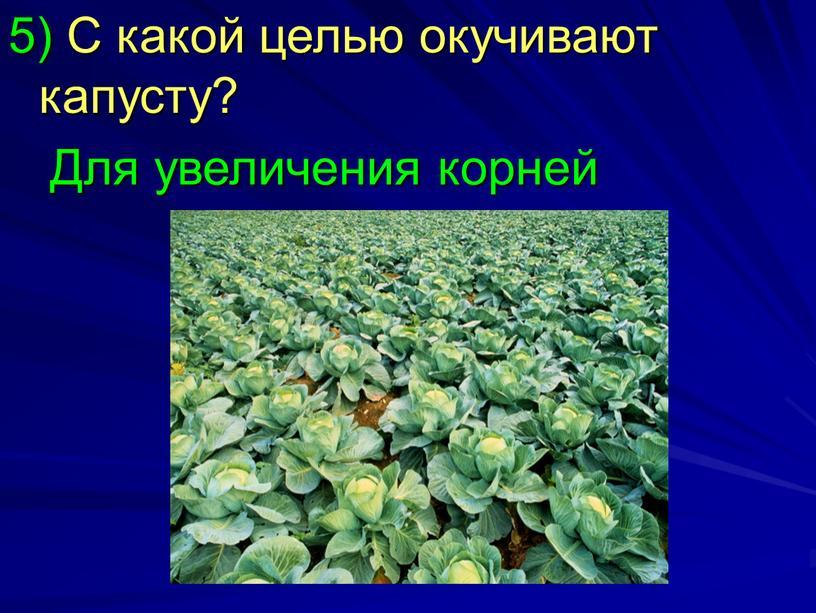 С какой целью окучивают капусту?