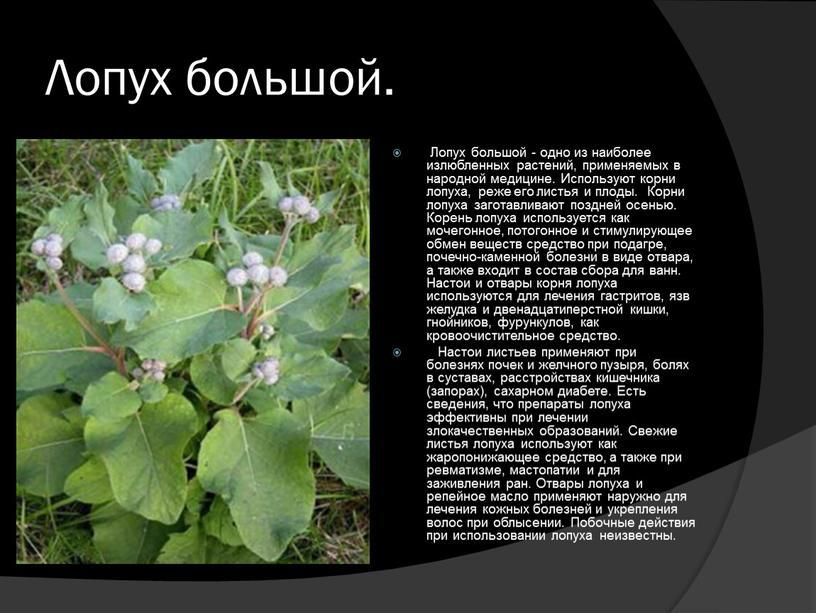 Лопух большой. Лопух большой - одно из наиболее излюбленных растений, применяемых в народной медицине