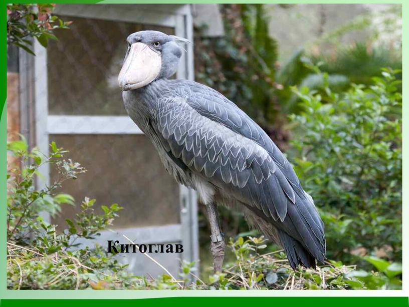 Китоглав