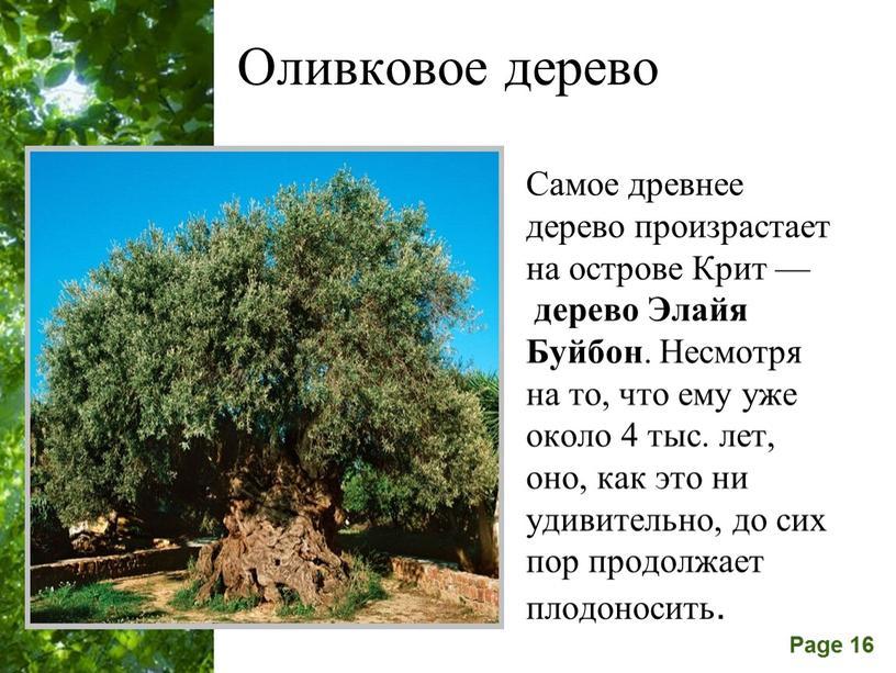 Оливковое дерево Самое древнее дерево произрастает на острове