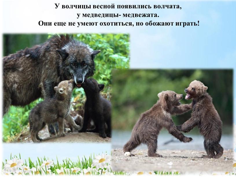 У волчицы весной появились волчата, у медведицы- медвежата