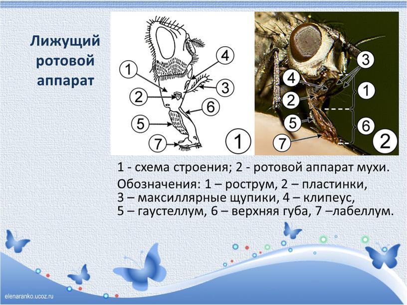 Лижущий ротовой аппарат 1 - схема строения; 2 - ротовой аппарат мухи