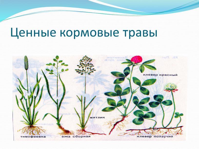 Ценные кормовые травы