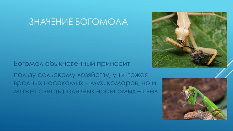 ЗНАЧЕНИЕ БОГОмоЛА Богомол обыкновенный приносит пользу сельскому хозяйству, уничтожая вредных насекомых – мух, комаров, но и может съесть полезных насекомых – пчел