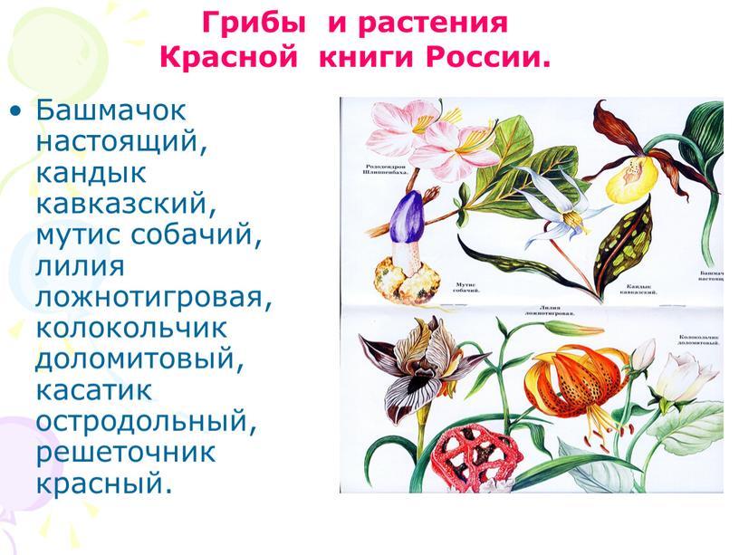 Башмачок настоящий, кандык кавказский, мутис собачий, лилия ложнотигровая, колокольчик доломитовый, касатик остродольный, решеточник красный