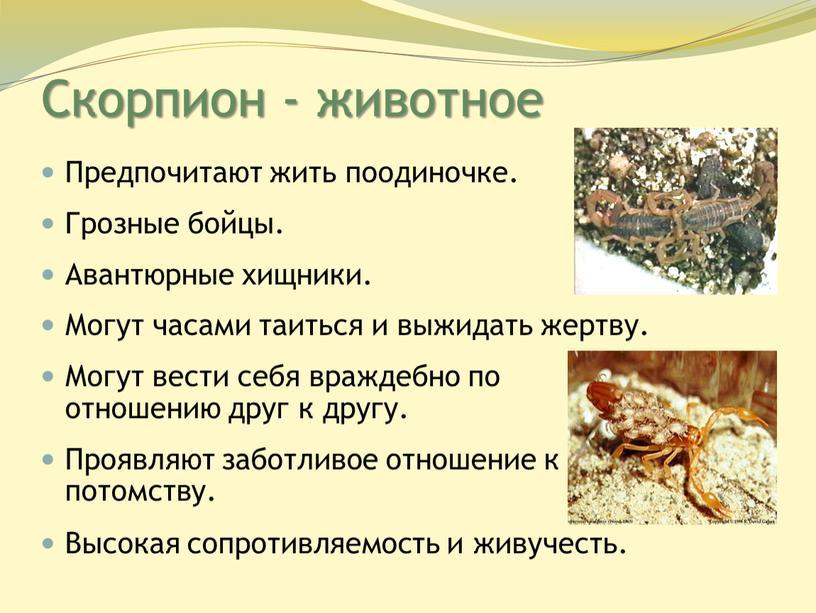 Скорпион - животное Предпочитают жить поодиночке