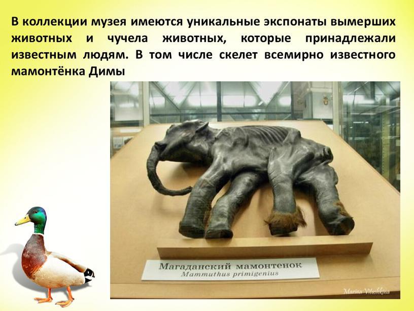 В коллекции музея имеются уникальные экспонаты вымерших животных и чучела животных, которые принадлежали известным людям