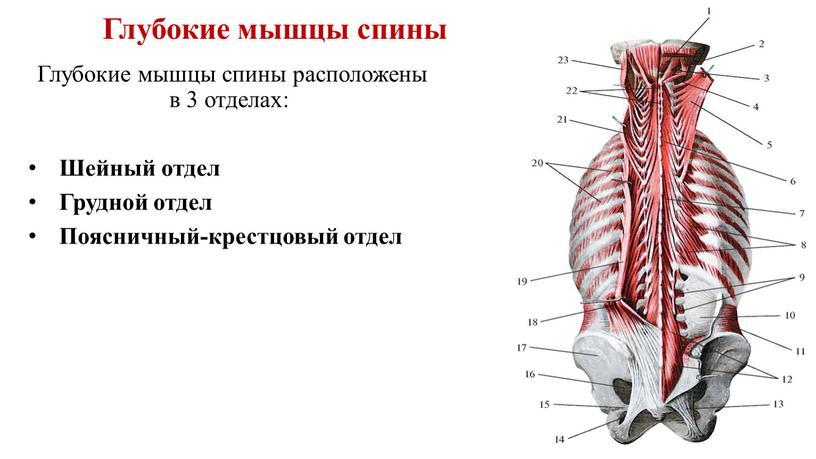 Глубокие мышцы спины Глубокие мышцы спины расположены в 3 отделах: