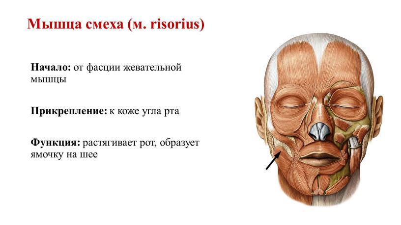 Мышца смеха (м. risorius) Начало: от фасции жевательной мышцы
