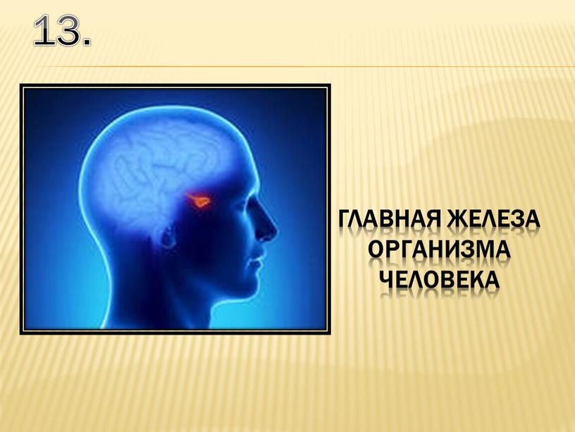 13. главная железа организма человека