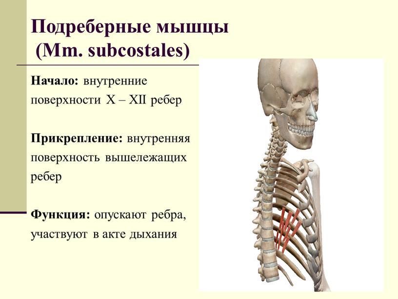 Подреберные мышцы (Mm. subcostales)