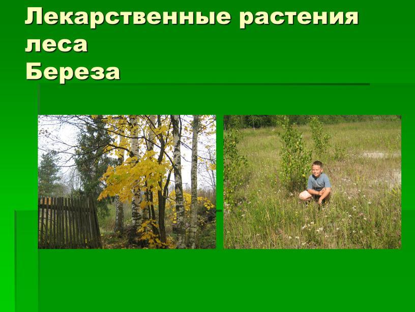 Лекарственные растения леса Береза