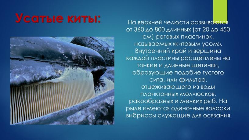 Усатые киты: На верхней челюсти развиваются от 360 до 800 длинных (от 20 до 450 см) роговых пластинок, называемых «китовым усом»,