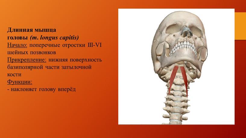 Длинная мышца головы (m. longus capitis)
