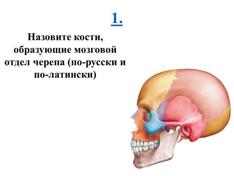 Назовите кости, образующие мозговой отдел черепа (по-русски и по-латински)