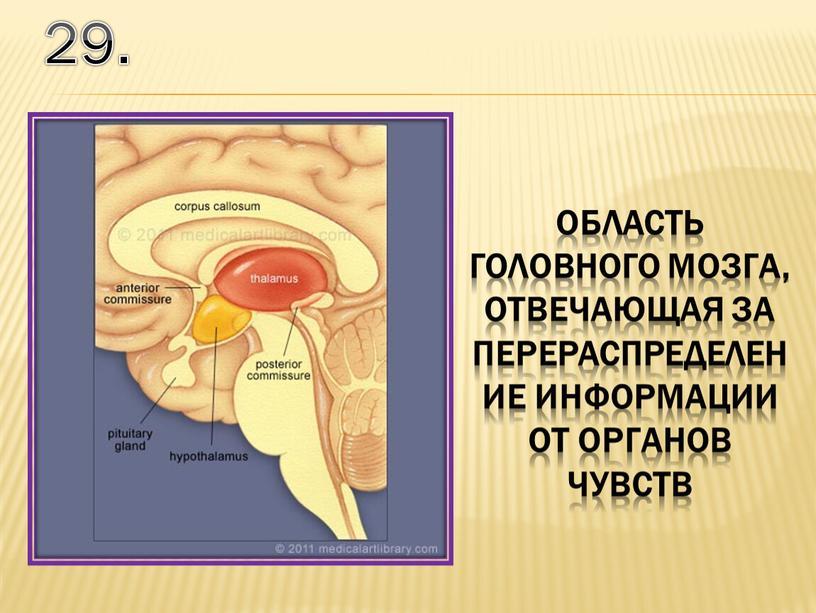 29. область головного мозга, отвечающая за перераспределение информации от органов чувств