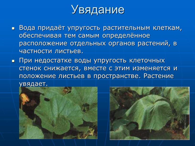 Увядание Вода придаёт упругость растительным клеткам, обеспечивая тем самым определённое расположение отдельных органов растений, в частности листьев
