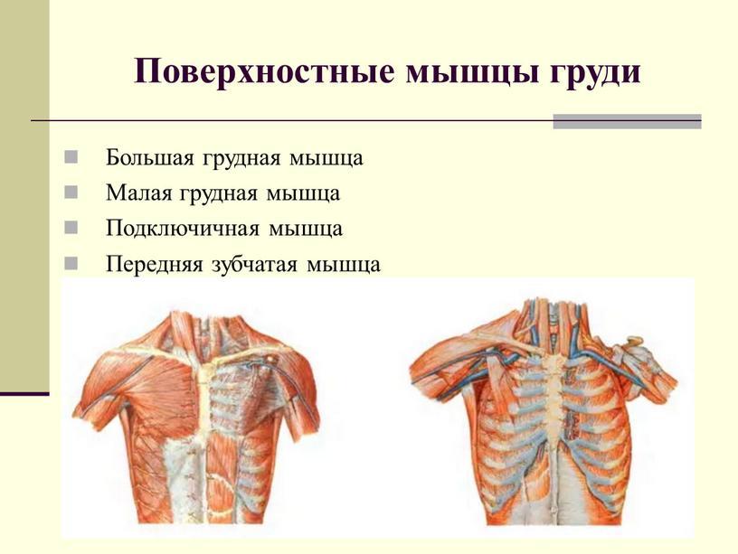 Поверхностные мышцы груди Большая грудная мышца