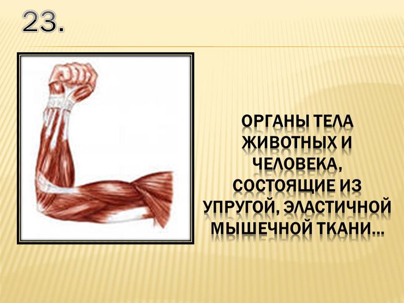 23. органы тела животных и человека, состоящие из упругой, эластичной мышечной ткани...