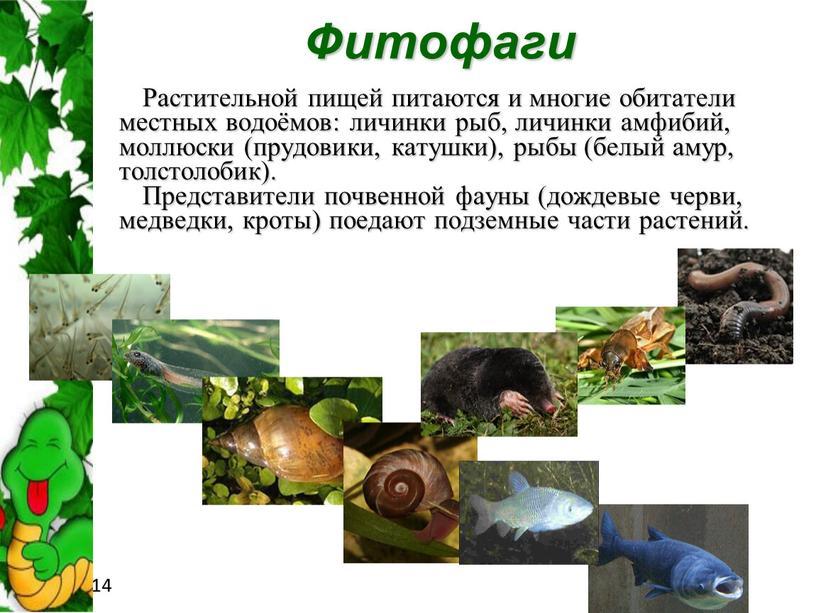 Фитофаги Растительной пищей питаются и многие обитатели местных водоёмов: личинки рыб, личинки амфибий, моллюски (прудовики, катушки), рыбы (белый амур, толстолобик)