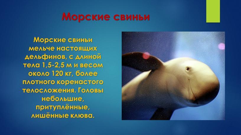 Морские свиньи Морские свиньи мельче настоящих дельфинов, с длиной тела 1,5-2,5 м и весом около 120 кг, более плотного коренастого телосложения