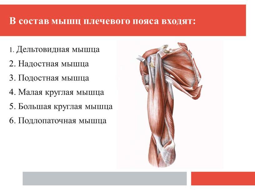 В состав мышц плечевого пояса входят: