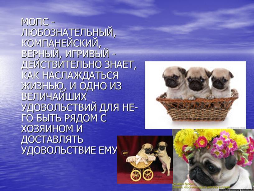 МОПС - ЛЮБОЗНАТЕЛЬНЫЙ, КОМПАНЕЙСКИЙ,