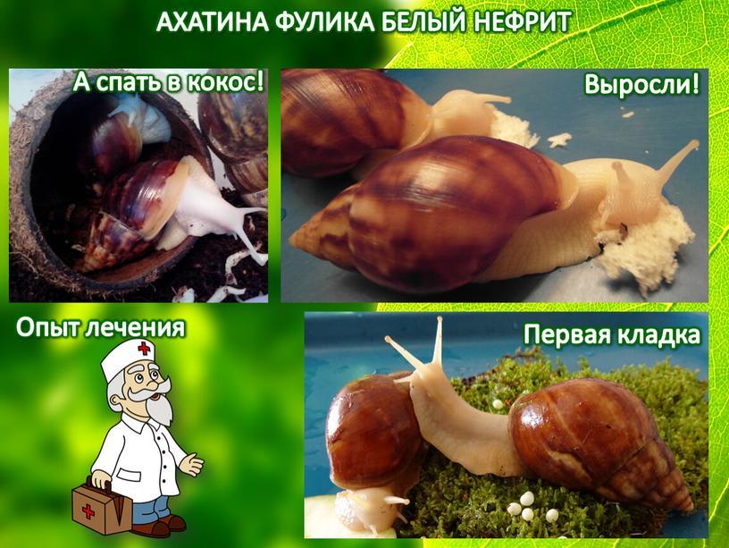 АХАТИНА ФУЛИКА БЕЛЫЙ НЕФРИТ А спать в кокос!
