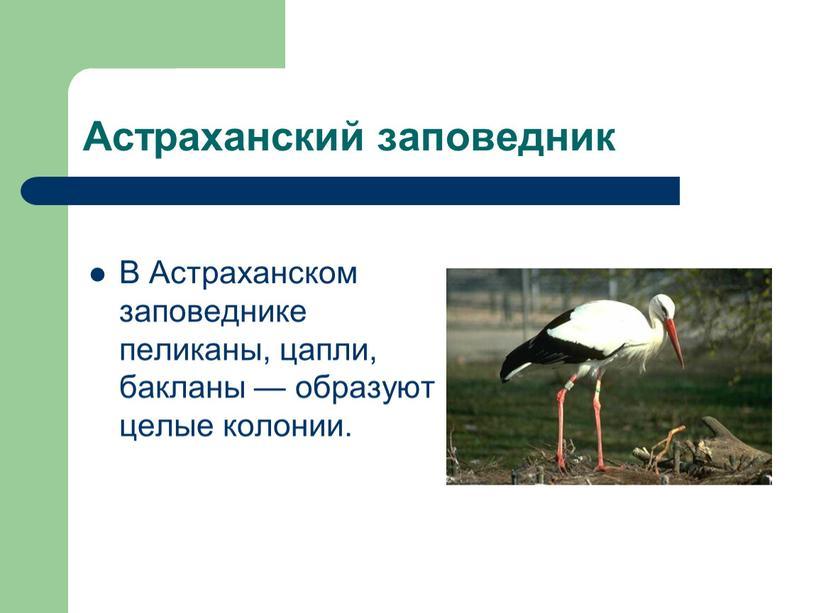 Астраханский заповедник В Астраханском заповеднике пеликаны, цапли, бакланы — образуют целые колонии
