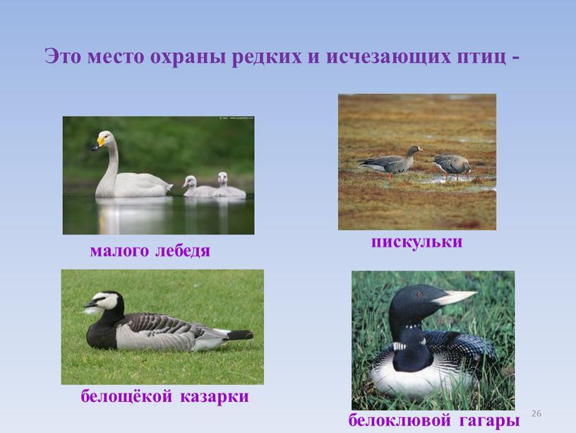 Это место охраны редких и исчезающих птиц - малого лебедя белощёкой казарки пискульки белоклювой гагары