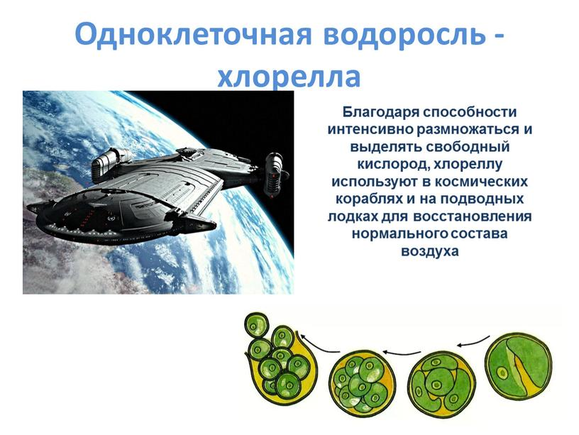 Одноклеточная водоросль - хлорелла