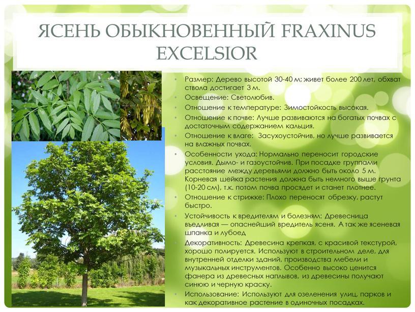 Ясень обыкновенный Fraxinus excelsior