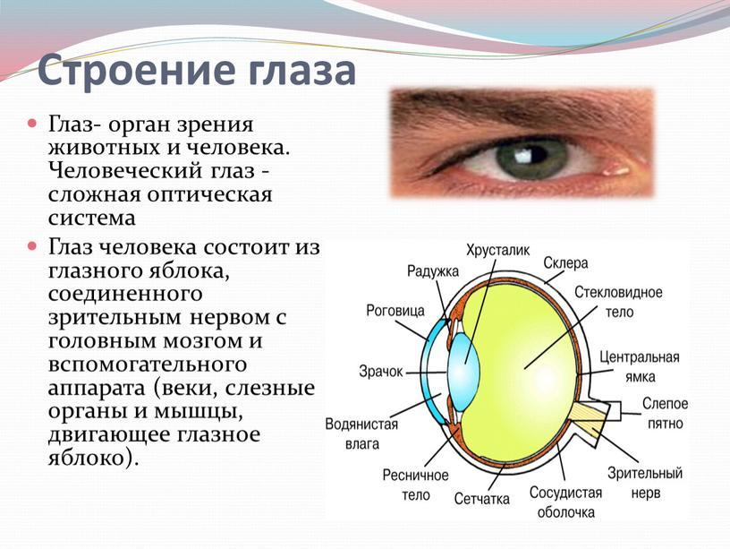 Глаз- орган зрения животных и человека