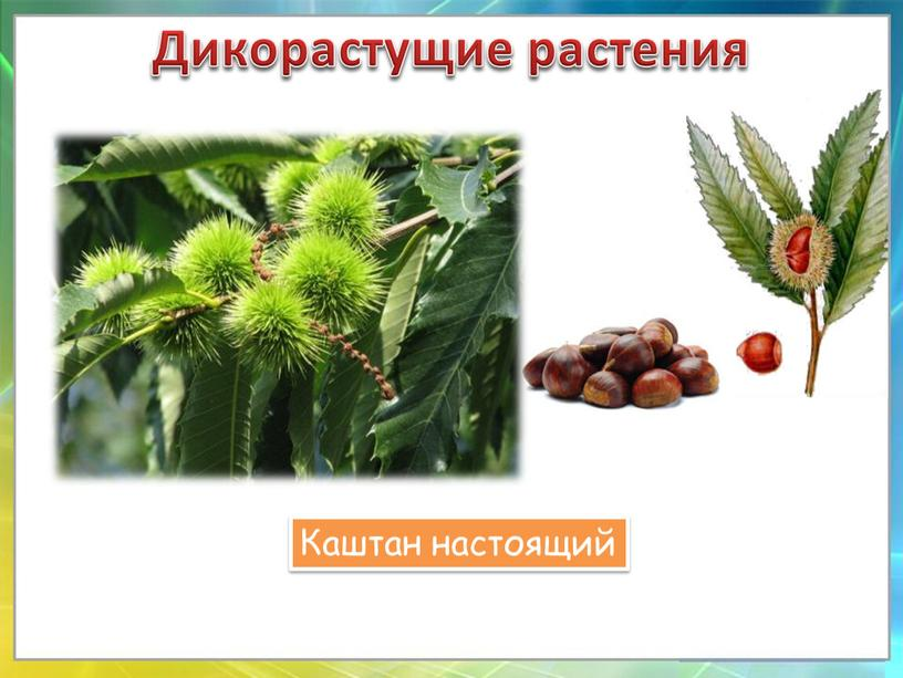 Дикорастущие растения Каштан настоящий